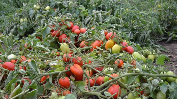 Un român a murit în Italia, pe câmp, la cules de roșii! Roșii